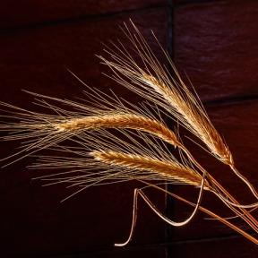Le blé.